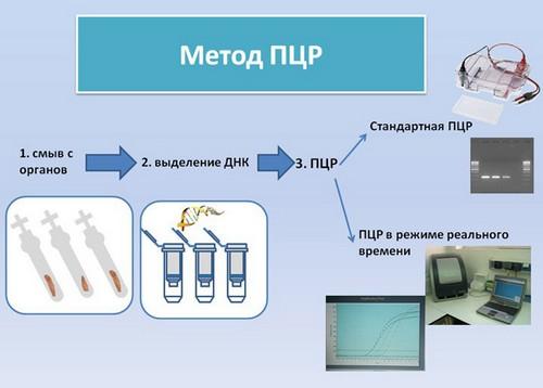 Проведение ПЦР при гепатите C