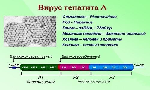 Вакцинация против гепатита а схема