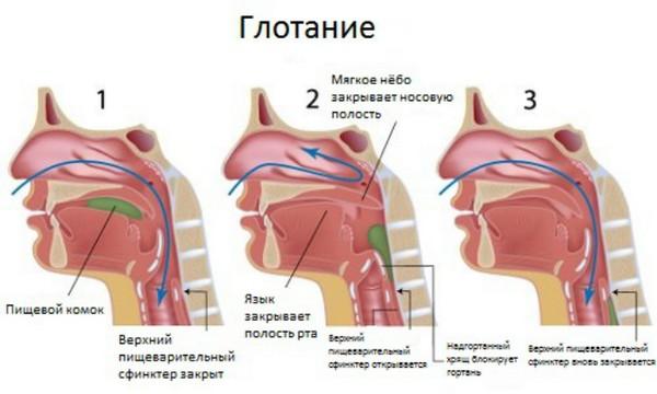 Процесс глотания